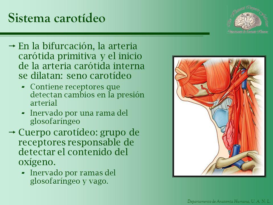 Sistema carotídeo En la bifurcación, la arteria carótida primitiva y el inicio de la arteria carótida interna se dilatan: seno carotídeo.