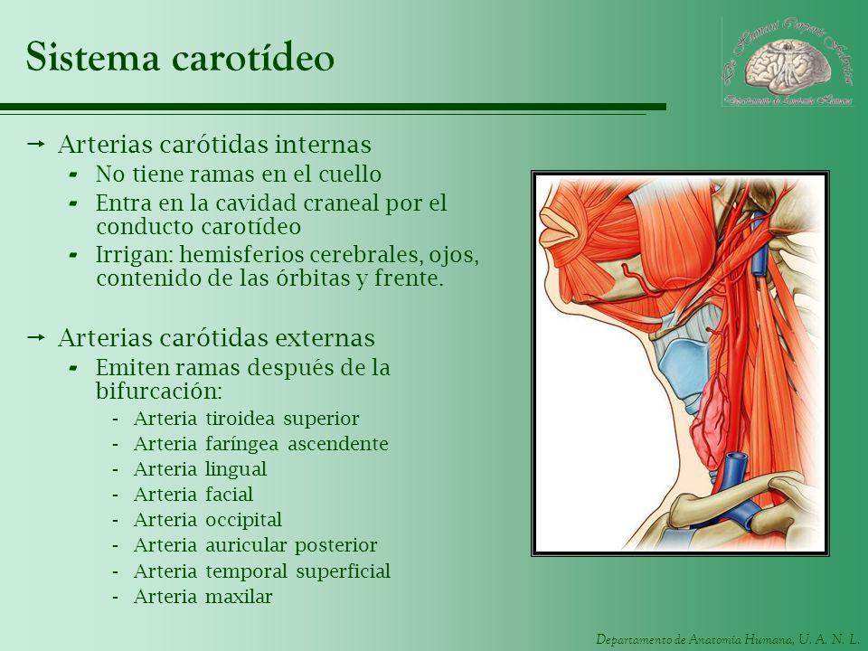 Sistema carotídeo Arterias carótidas internas
