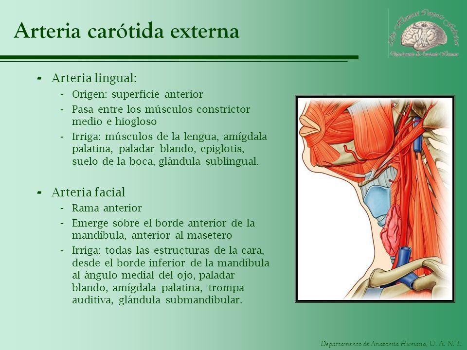 Arteria carótida externa