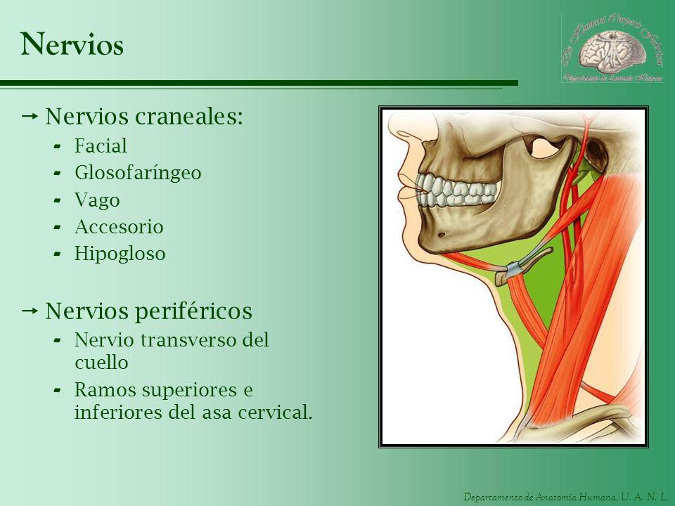 Nervios Nervios craneales: Nervios periféricos Facial Glosofaríngeo