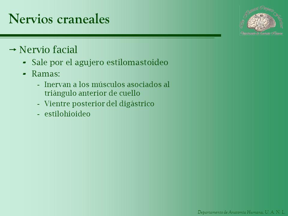 Nervios craneales Nervio facial Sale por el agujero estilomastoideo