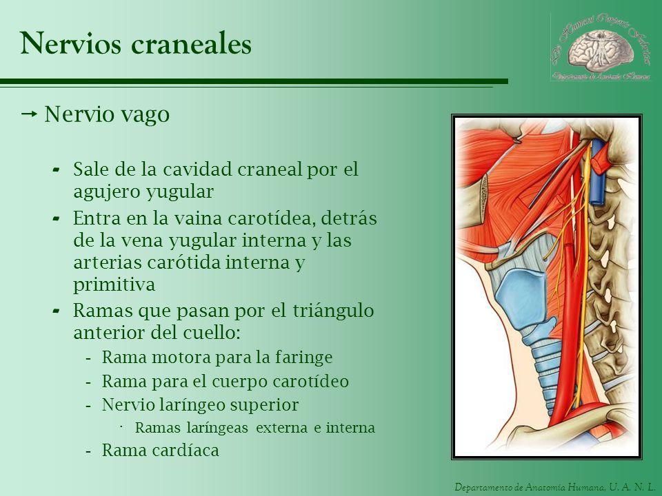 Nervios craneales Nervio vago