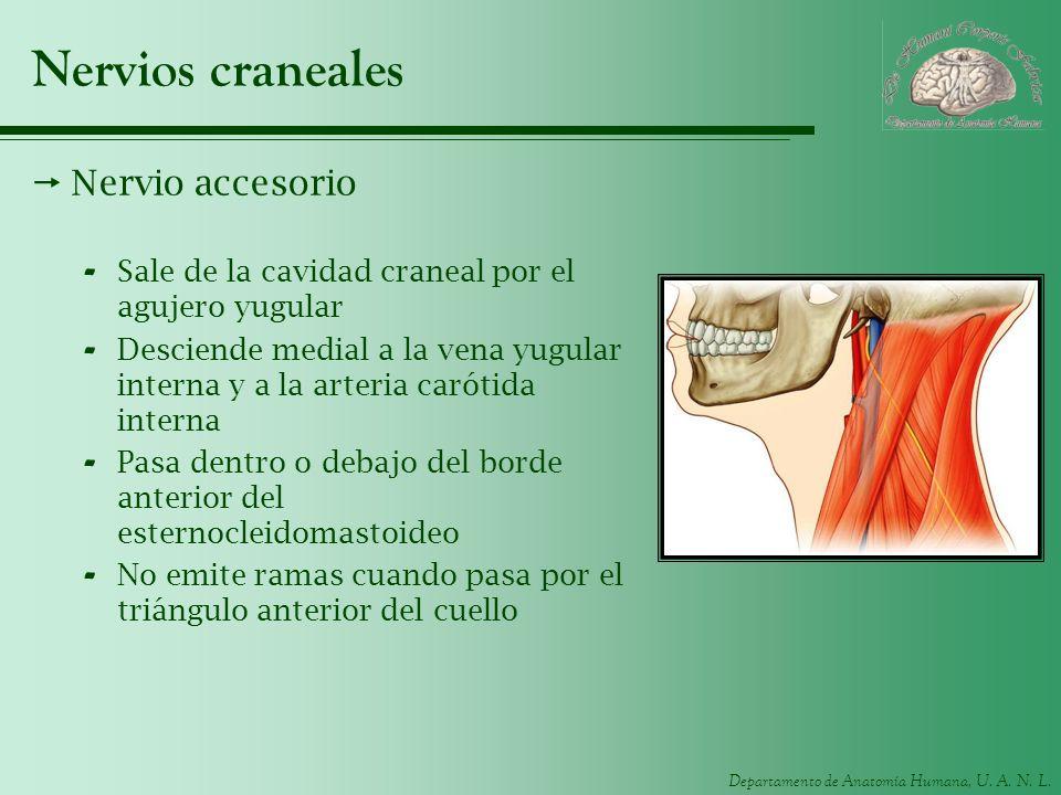 Nervios craneales Nervio accesorio