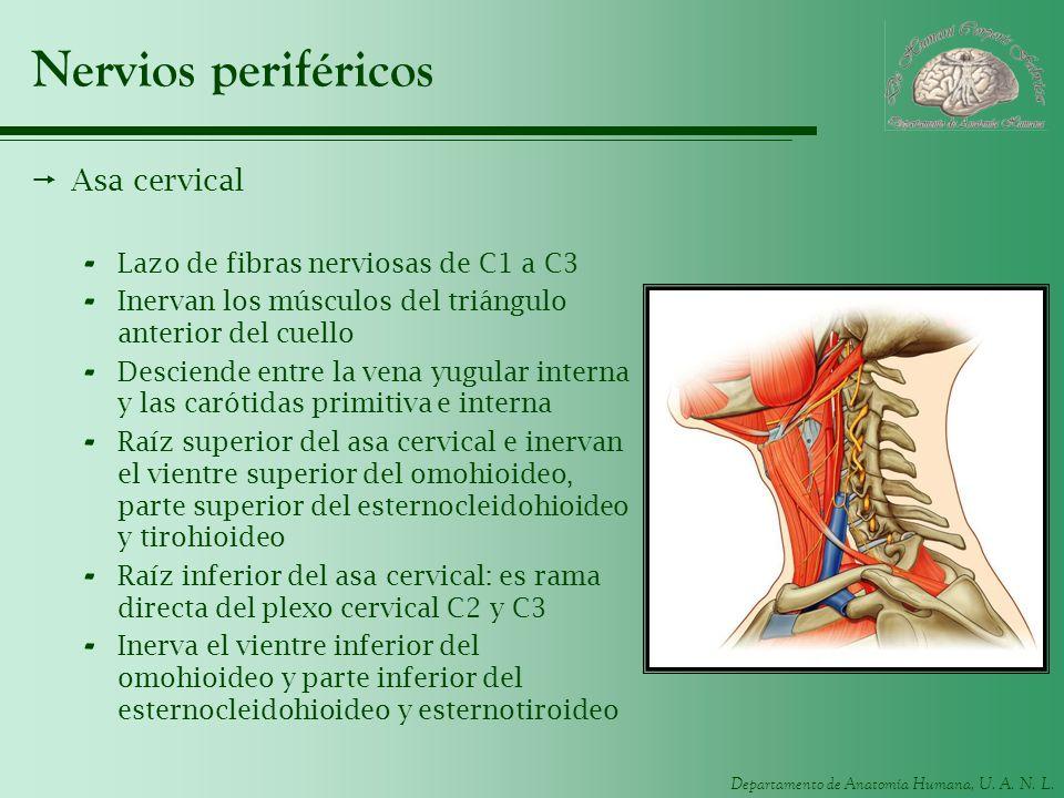 Nervios periféricos Asa cervical Lazo de fibras nerviosas de C1 a C3