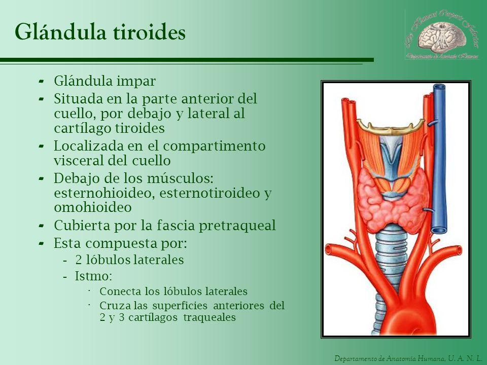 Glándula tiroides Glándula impar