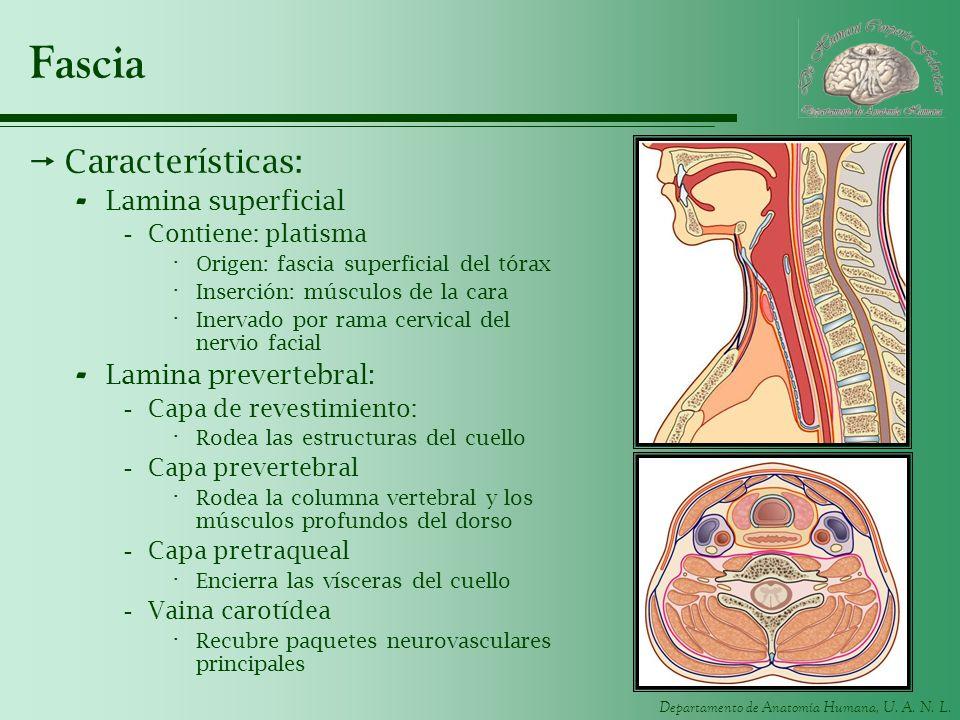 Fascia Características: Lamina superficial Lamina prevertebral: