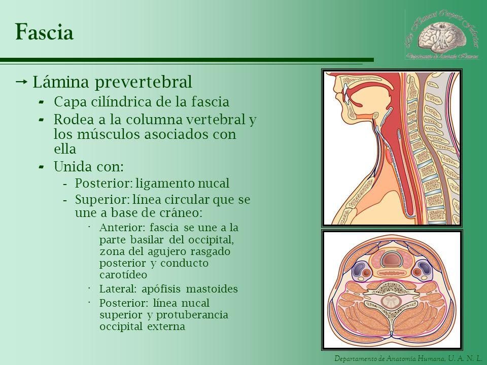 Fascia Lámina prevertebral Capa cilíndrica de la fascia