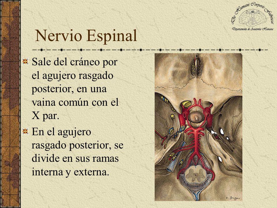 Nervio Espinal Sale del cráneo por el agujero rasgado posterior, en una vaina común con el X par.
