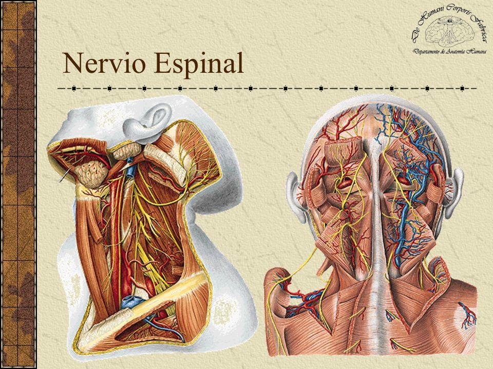 Nervio Espinal