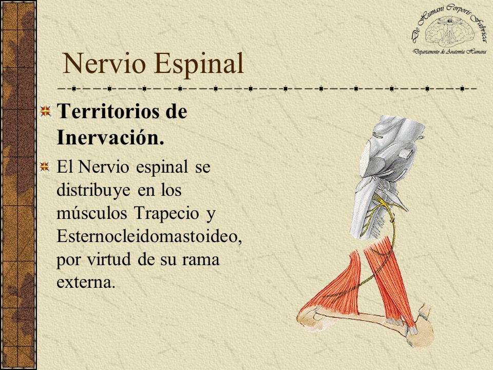 Nervio Espinal Territorios de Inervación.