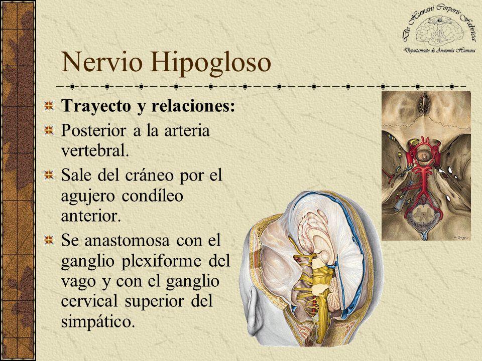 Nervio Hipogloso Trayecto y relaciones: