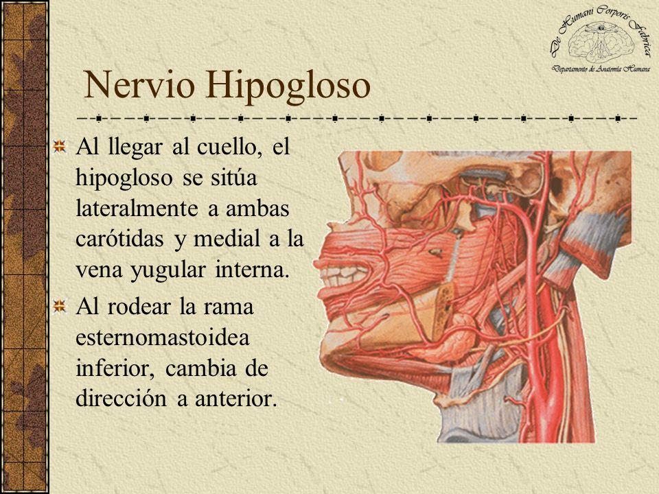 Nervio Hipogloso Al llegar al cuello, el hipogloso se sitúa lateralmente a ambas carótidas y medial a la vena yugular interna.