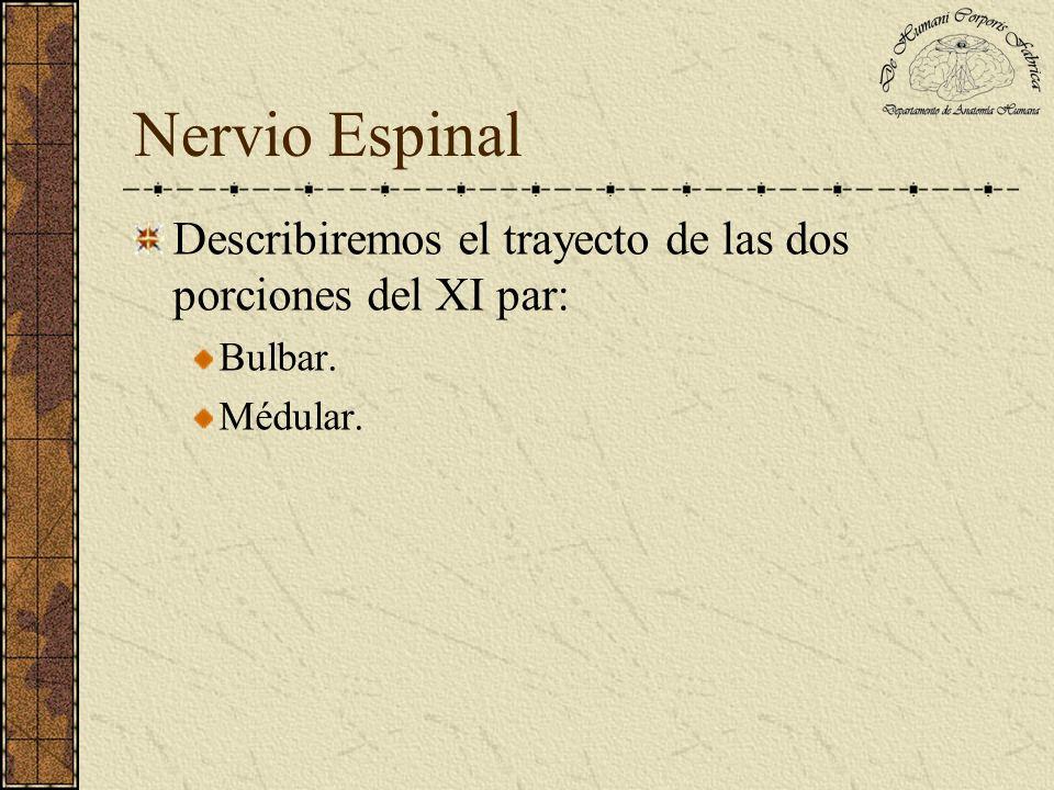 Nervio Espinal Describiremos el trayecto de las dos porciones del XI par: Bulbar. Médular.