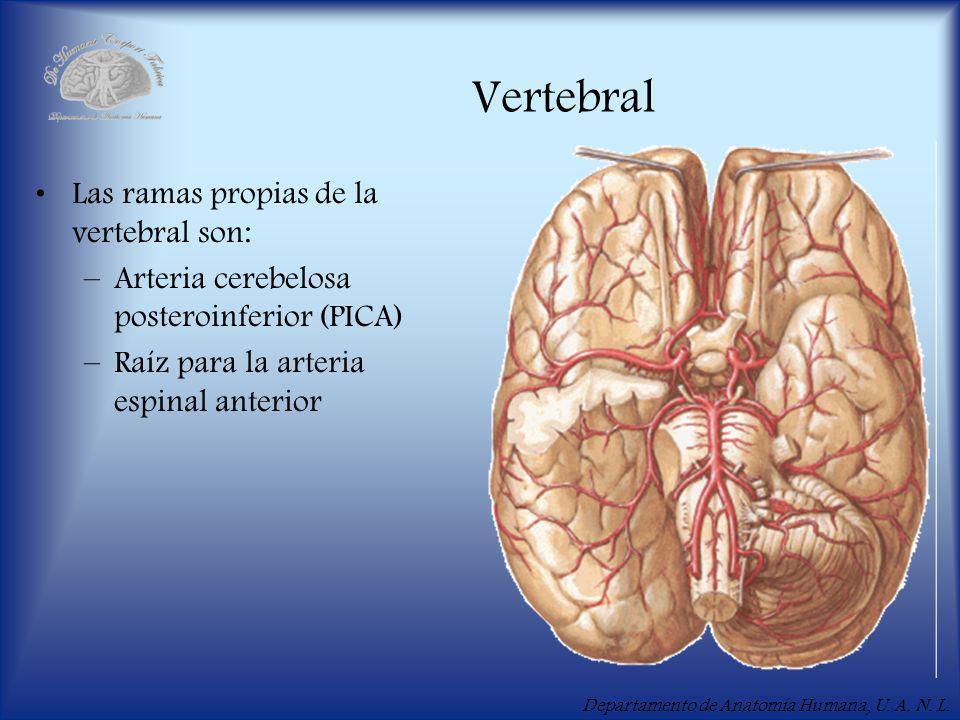 Vertebral Las ramas propias de la vertebral son: