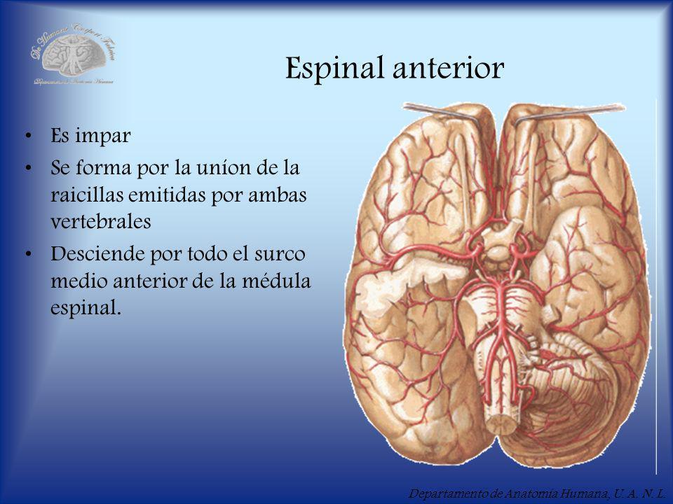 Espinal anterior Es impar