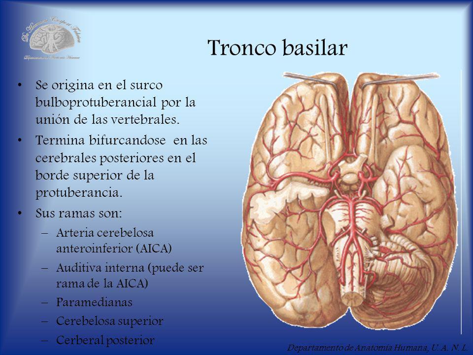 Tronco basilar Se origina en el surco bulboprotuberancial por la unión de las vertebrales.