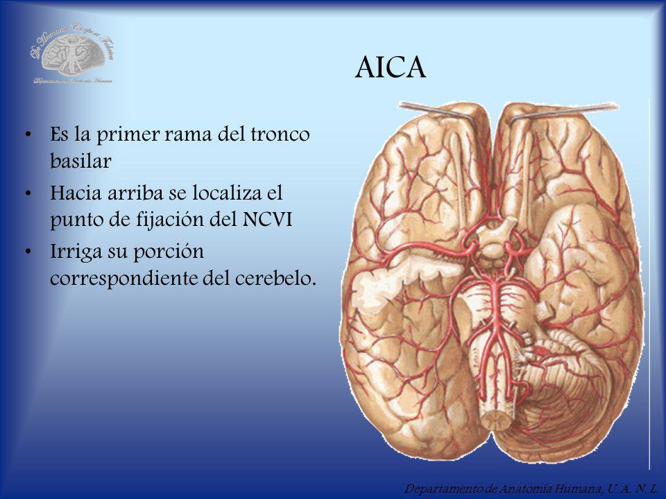 AICA Es la primer rama del tronco basilar