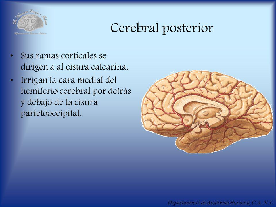 Cerebral posterior Sus ramas corticales se dirigen a al cisura calcarina.