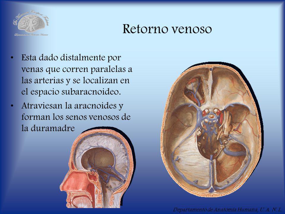 Retorno venoso Esta dado distalmente por venas que corren paralelas a las arterias y se localizan en el espacio subaracnoideo.