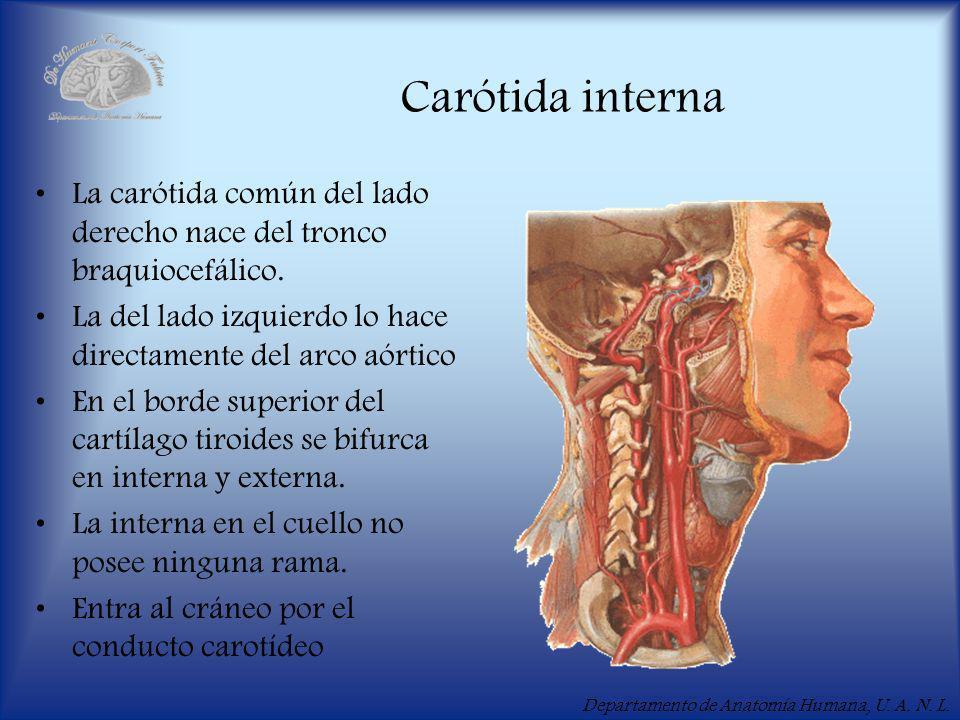 Carótida interna La carótida común del lado derecho nace del tronco braquiocefálico. La del lado izquierdo lo hace directamente del arco aórtico.