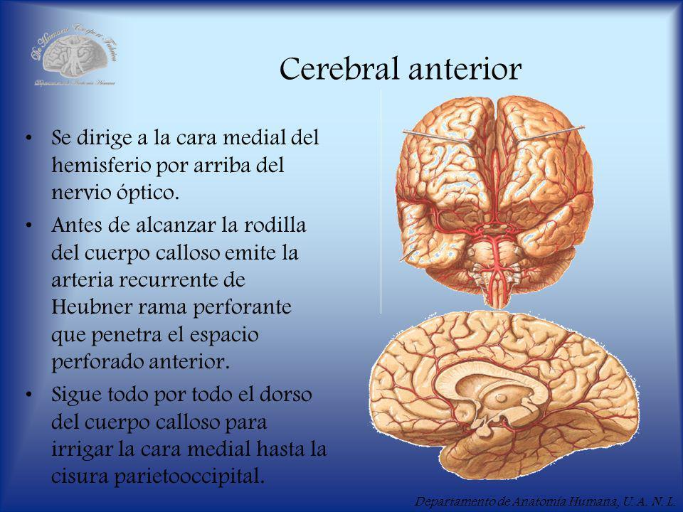Cerebral anterior Se dirige a la cara medial del hemisferio por arriba del nervio óptico.