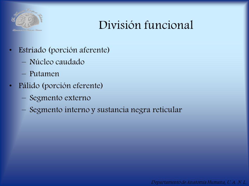División funcional Estriado (porción aferente) Núcleo caudado Putamen