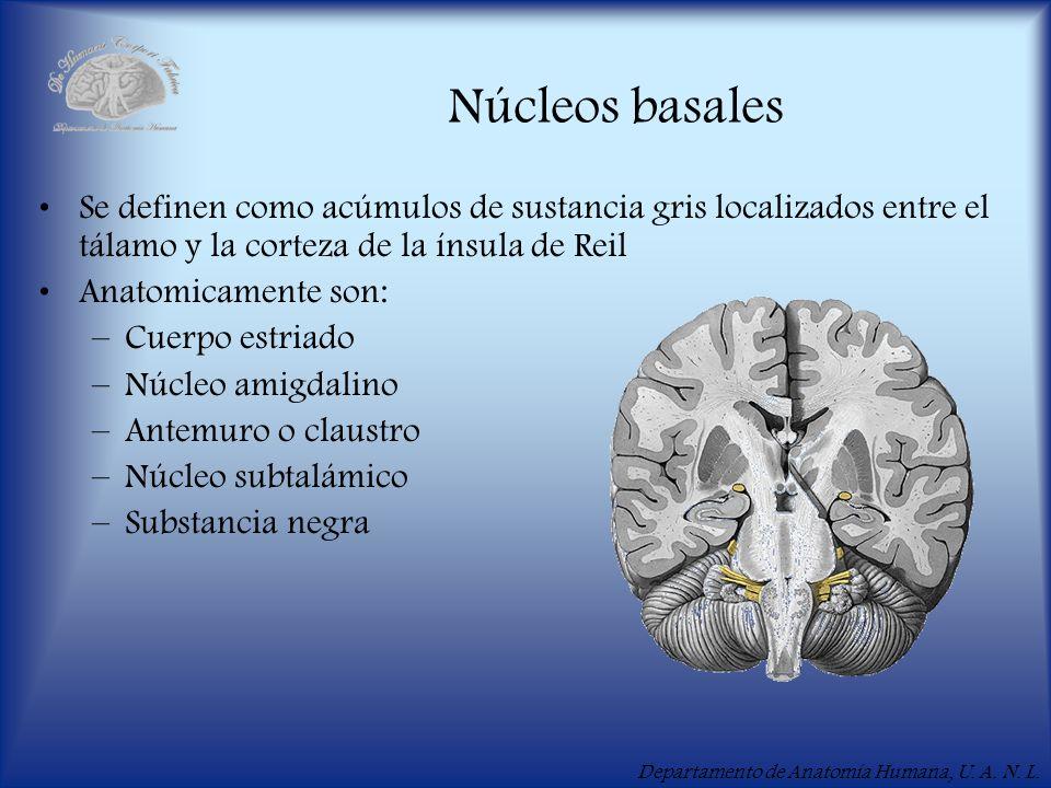 Núcleos basales Se definen como acúmulos de sustancia gris localizados entre el tálamo y la corteza de la ínsula de Reil.