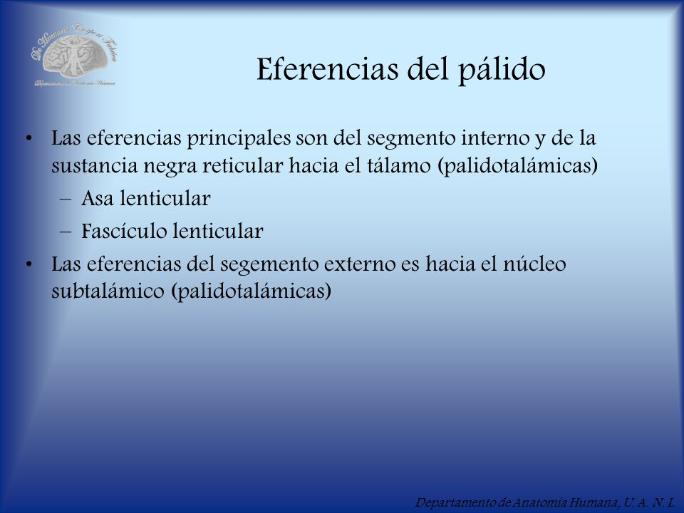 Eferencias del pálido Las eferencias principales son del segmento interno y de la sustancia negra reticular hacia el tálamo (palidotalámicas)