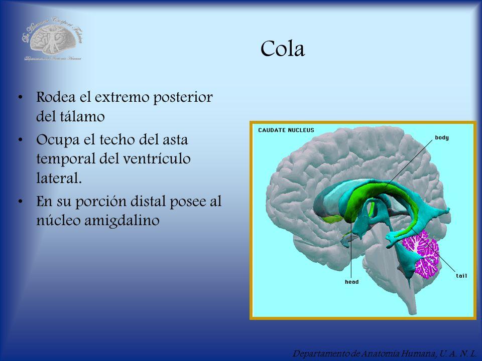 Cola Rodea el extremo posterior del tálamo