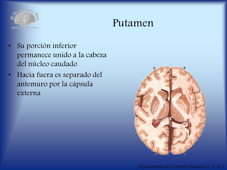 Putamen Su porción inferior permanece unido a la cabeza del núcleo caudado.