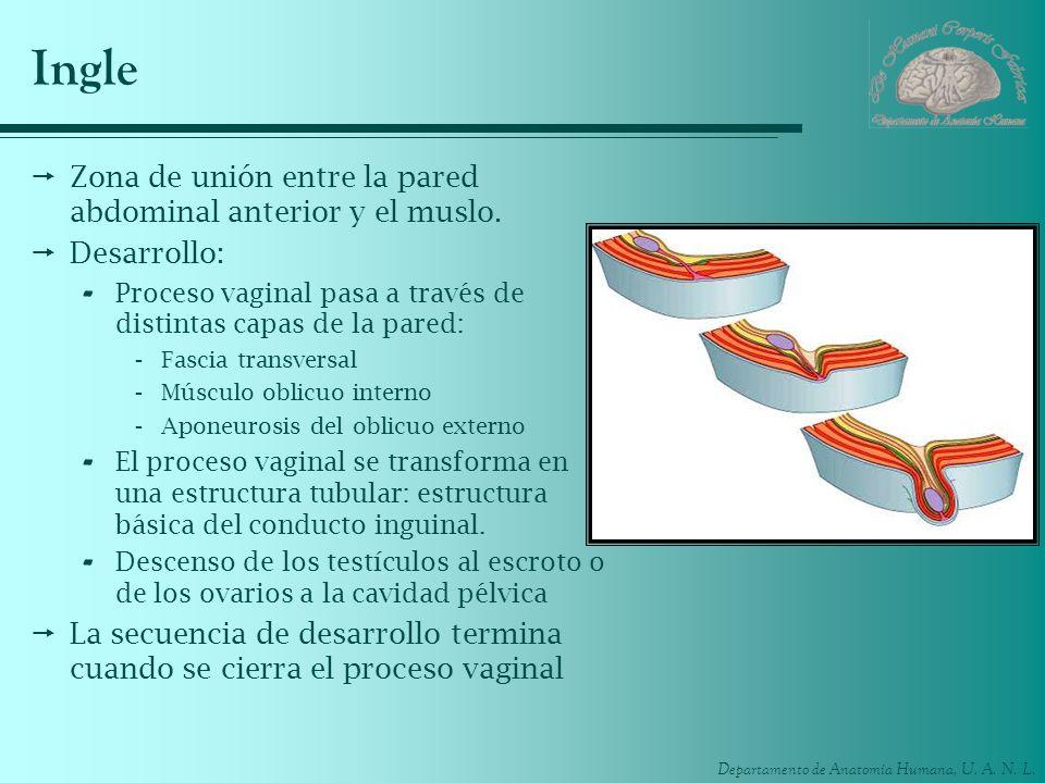 Ingle Zona de unión entre la pared abdominal anterior y el muslo.
