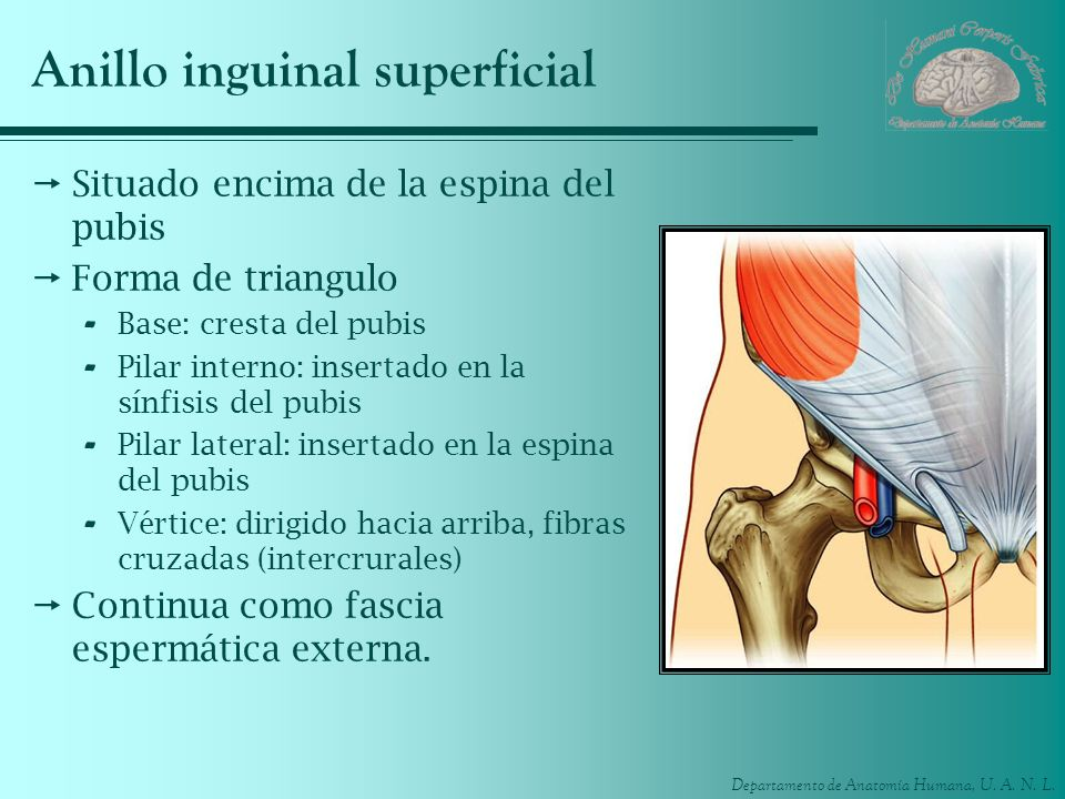 Anillo inguinal superficial