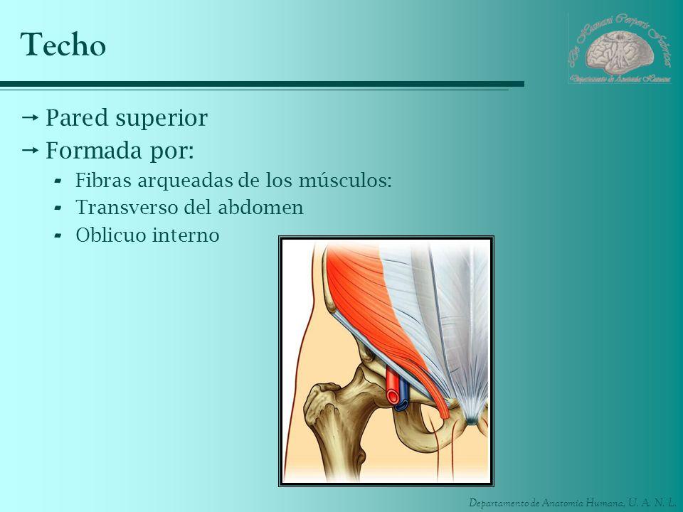 Techo Pared superior Formada por: Fibras arqueadas de los músculos: