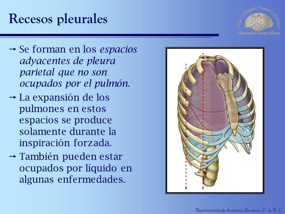 Recesos pleurales Se forman en los espacios adyacentes de pleura parietal que no son ocupados por el pulmón.