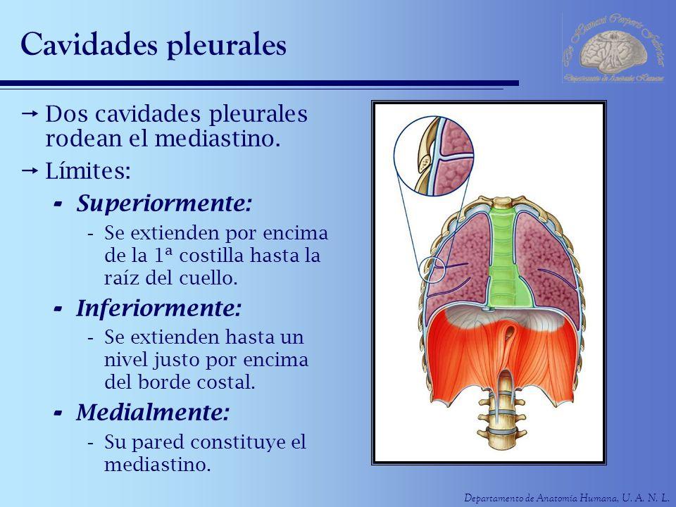 Cavidades pleurales Dos cavidades pleurales rodean el mediastino.