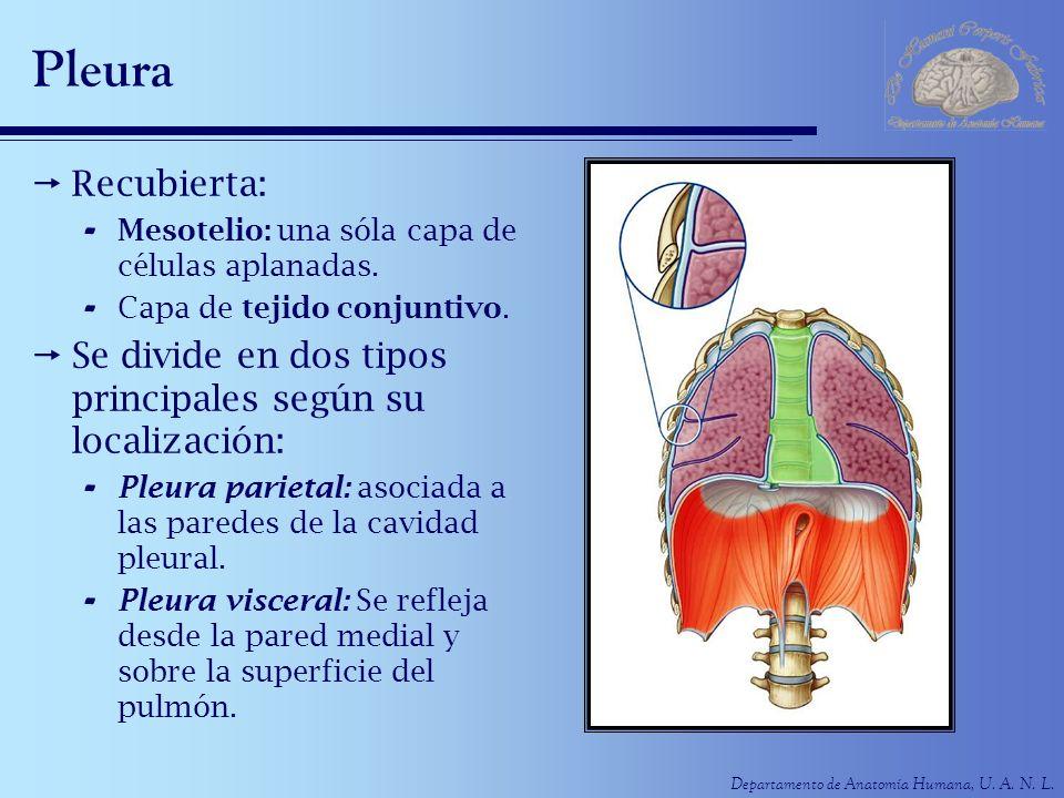 Pleura Recubierta: Mesotelio: una sóla capa de células aplanadas. Capa de tejido conjuntivo.