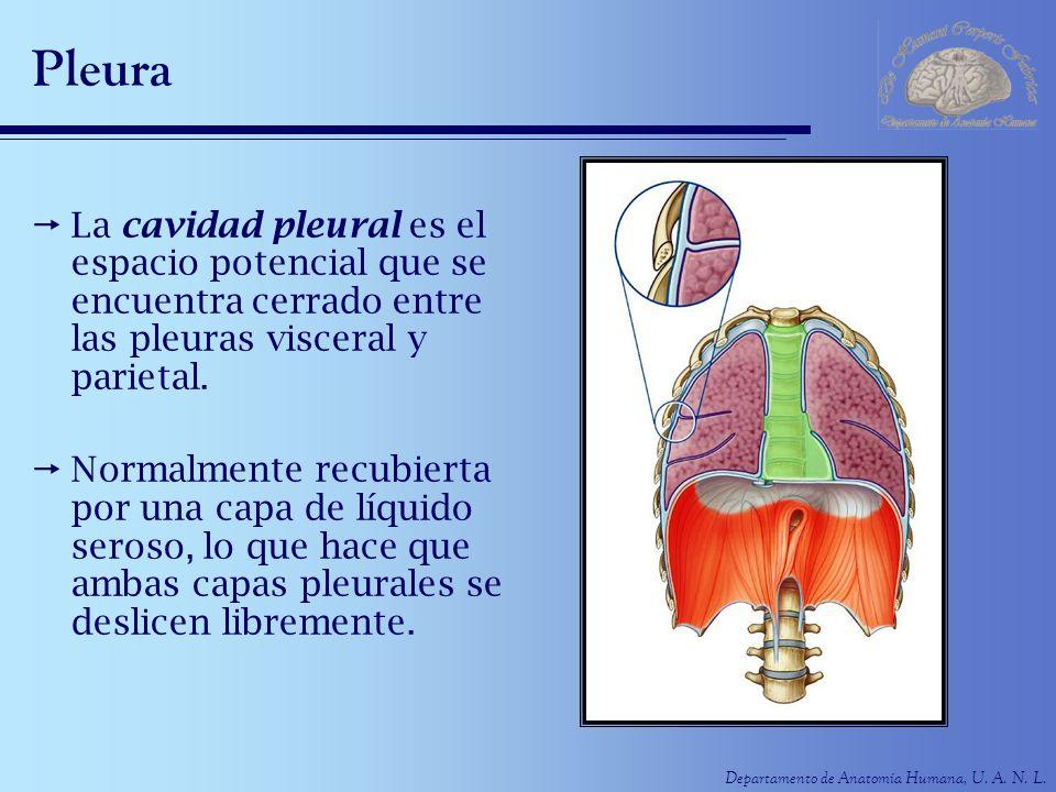 Pleura La cavidad pleural es el espacio potencial que se encuentra cerrado entre las pleuras visceral y parietal.