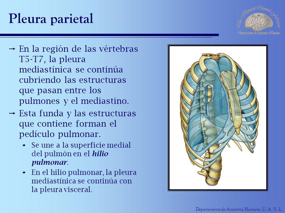 Pleura parietal