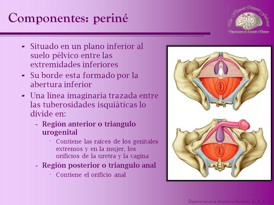 Componentes: periné Situado en un plano inferior al suelo pélvico entre las extremidades inferiores.