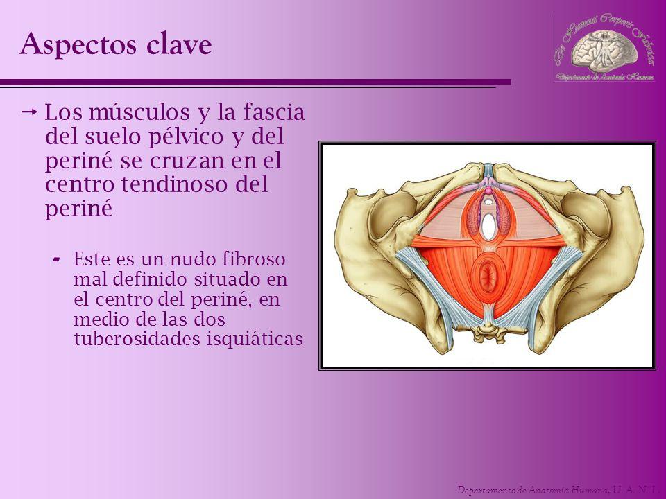 Aspectos clave Los músculos y la fascia del suelo pélvico y del periné se cruzan en el centro tendinoso del periné.