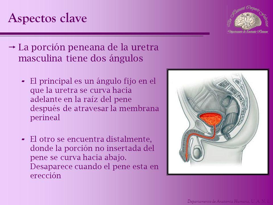 Aspectos clave La porción peneana de la uretra masculina tiene dos ángulos.