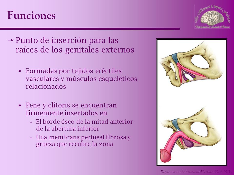 Funciones Punto de inserción para las raíces de los genitales externos