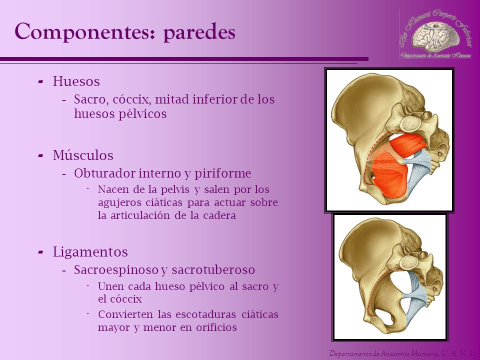 Componentes: paredes Huesos Músculos Ligamentos