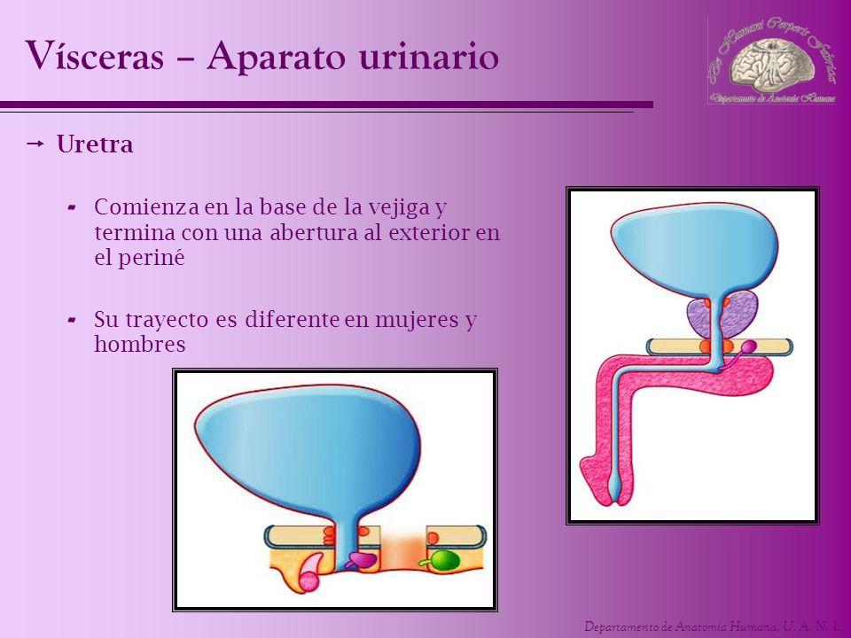 Vísceras – Aparato urinario