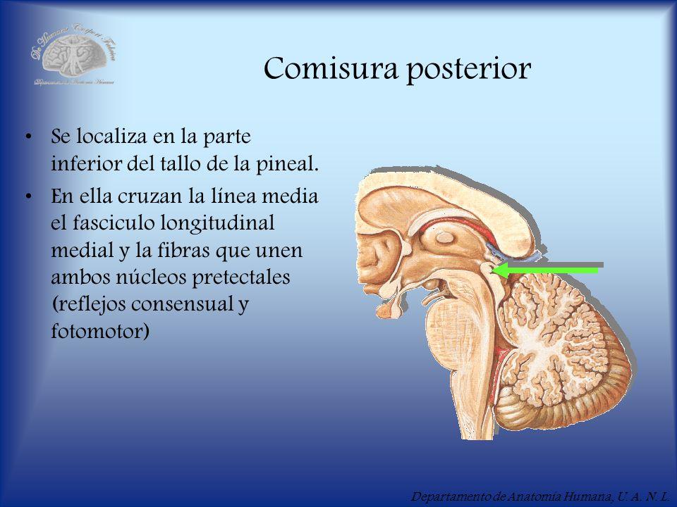 Comisura posterior Se localiza en la parte inferior del tallo de la pineal.