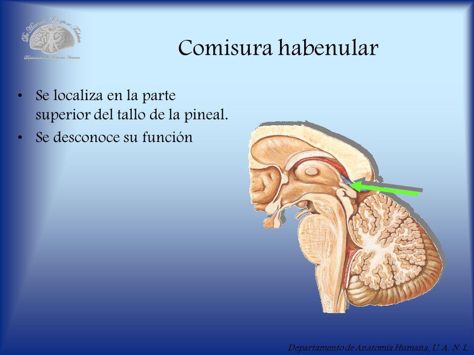 Comisura habenular Se localiza en la parte superior del tallo de la pineal. Se desconoce su función