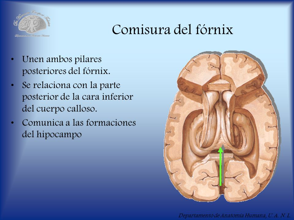 Comisura del fórnix Unen ambos pilares posteriores del fórnix.