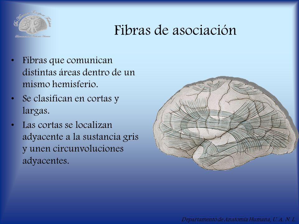 Fibras de asociación Fibras que comunican distintas áreas dentro de un mismo hemisferio. Se clasifican en cortas y largas.