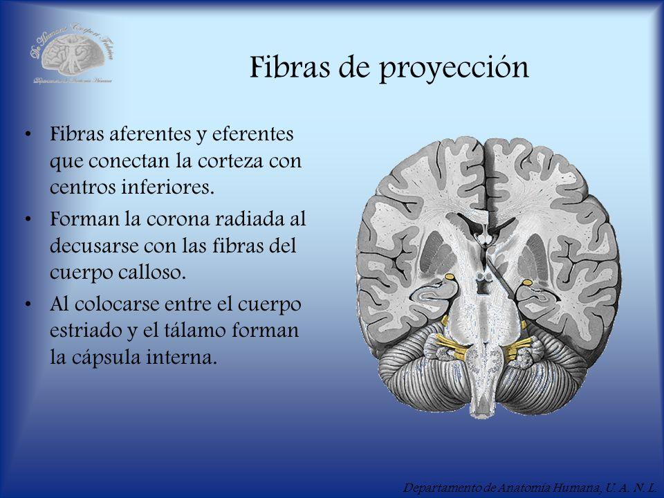 Fibras de proyección Fibras aferentes y eferentes que conectan la corteza con centros inferiores.