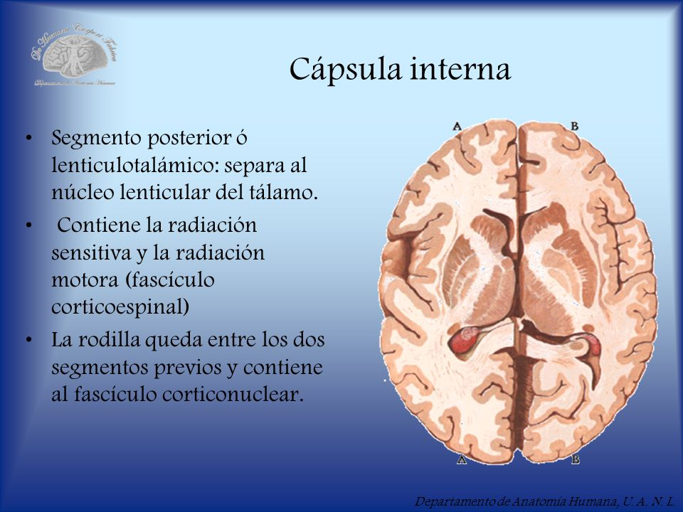 Cápsula interna Segmento posterior ó lenticulotalámico: separa al núcleo lenticular del tálamo.